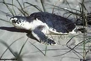 لاک پشتهای ماده پس از تخمگذاری در ساحل به دریا برمیگردند