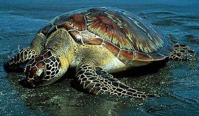 لاک پشتها در خطر انقراض
