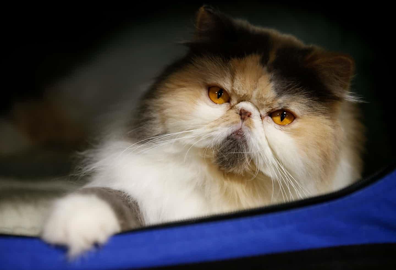 عکس روز: گربه پرشین - همشهری آنلاین