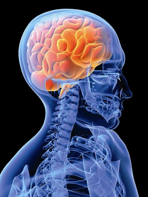 اسکلت انسان - مغز