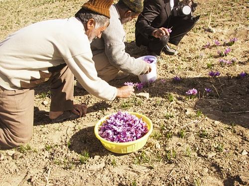 کشاورز - چیدن زعفران