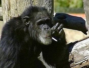 چارلی شامپانزه سیگاری