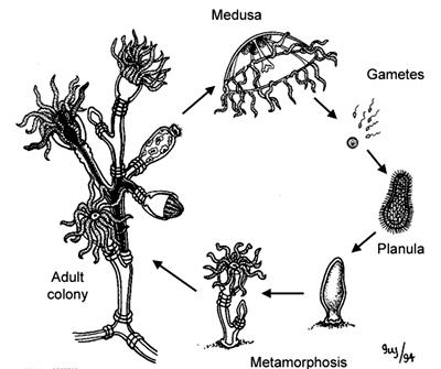 عروس دریایی-hydrozoan jellyfish