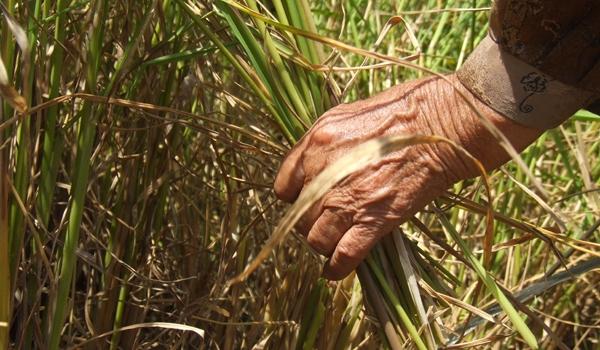 یک گزارش تصویری از برداشت برنج