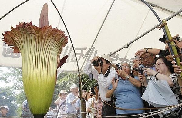 بزرگترین گل جهان شکفت