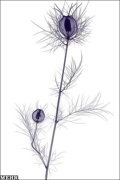 چهره واقعی گلها در زیر پرتو ایکس