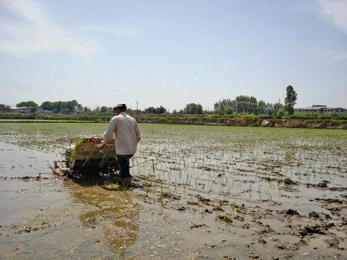 برنجکاری استانهای شمالی در معرض نابودی