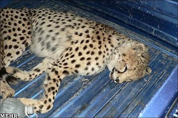 توله یوزپلنگ آسیایی کشته شده
