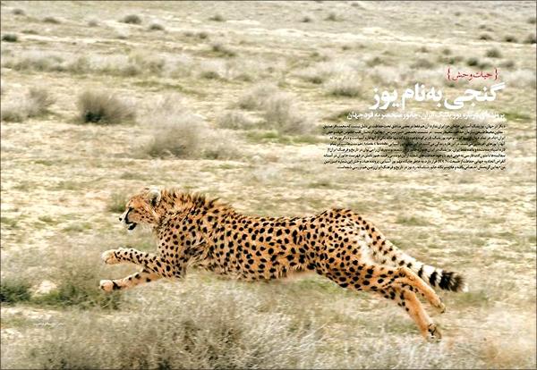 یوزپلنگانی که در ایران میدوند