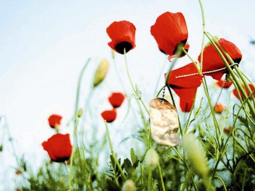 گل شقایق