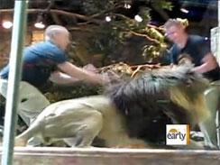 شیر بدخلق؛ یک هتل در لاس وگاس را به هم ریخت