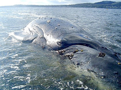 Explosive end for sick whale
