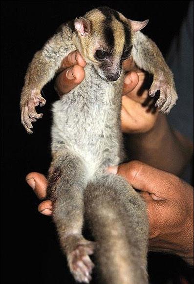 lamur