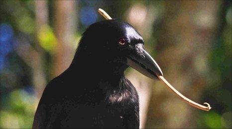 newcaledonean crow