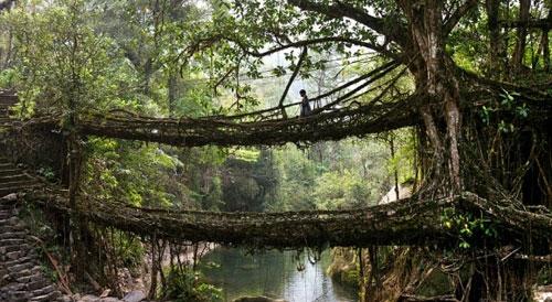 پلهای زنده با ریشههای درختان