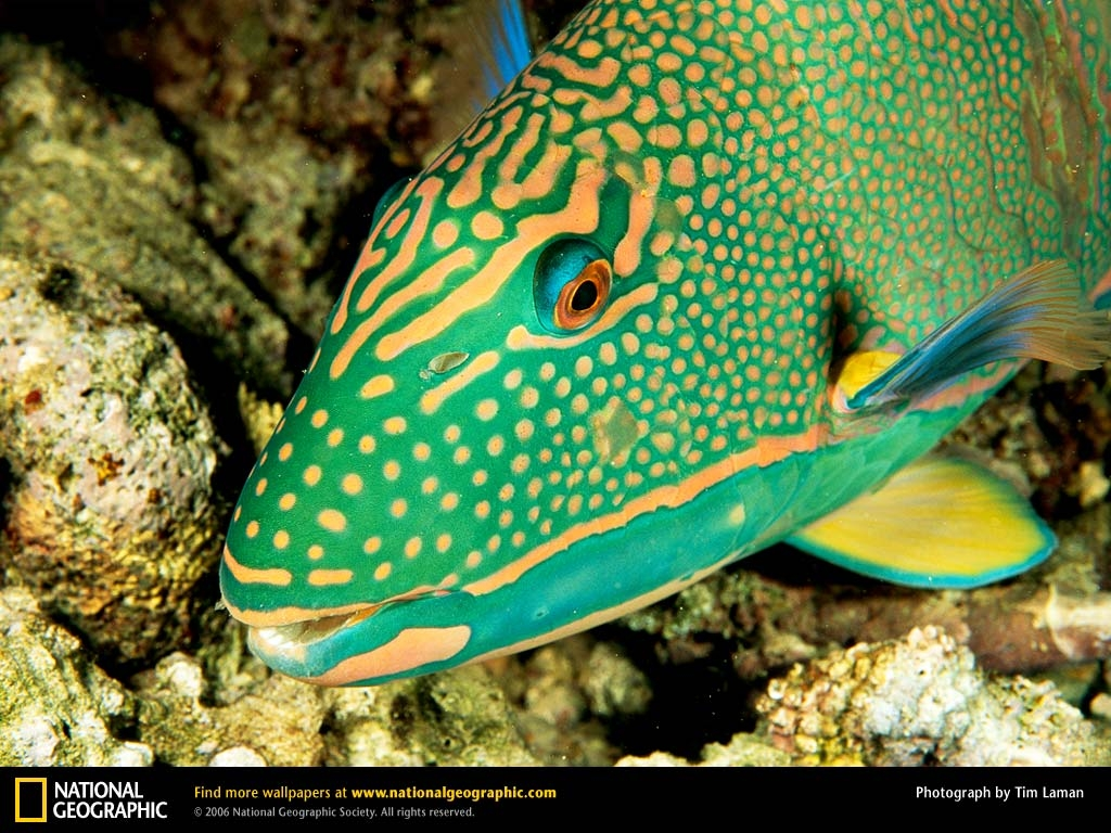 parrot fish2