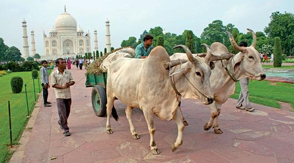 ابهام در سلامت گوشت گاوهای هندی وارد شده به ایران