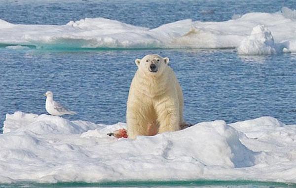 وقتی خرسهای قطبی همنوعان خود را میخورند