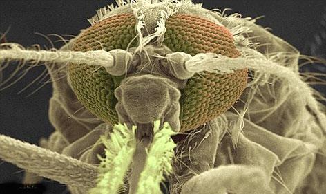پشه مالاریا