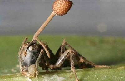 مورچههای برگ بُر