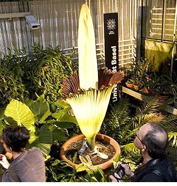 گل جسد بدبوترین گل جهان