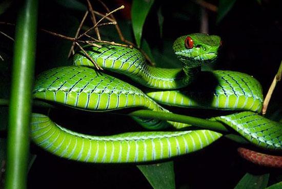 کشف افعی سبز چشم یاقوتی