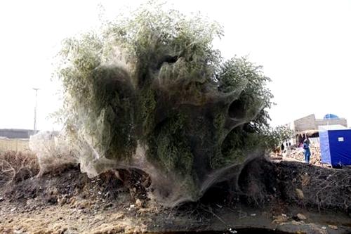 درختان پوشیده در تار عنکبوت
