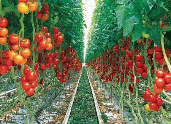بوته گوجه فرنگی