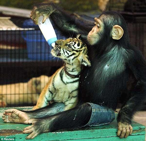 شامپانزه در نقش مادر توله ببر