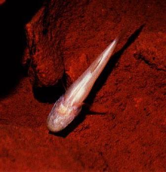 غارماهی