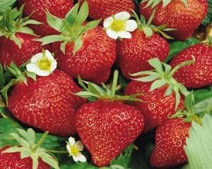 خواص توتفرنگی