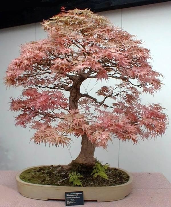 پرورش درختان بهصورت بونسای