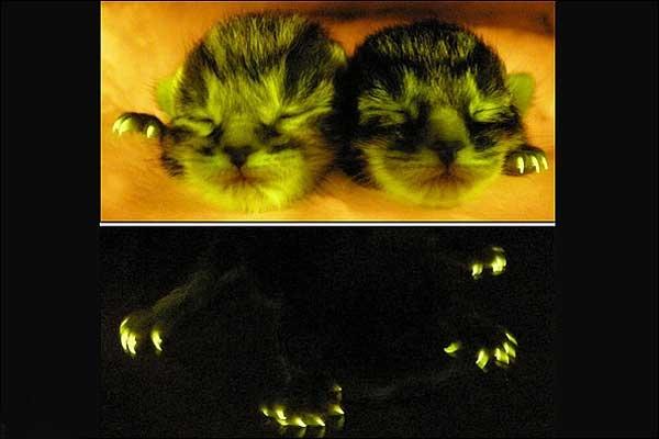 تولید گربههای فلورسانت حاوی ژنهای ضد ایدز