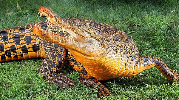 Crocodile Turns Bright Orange