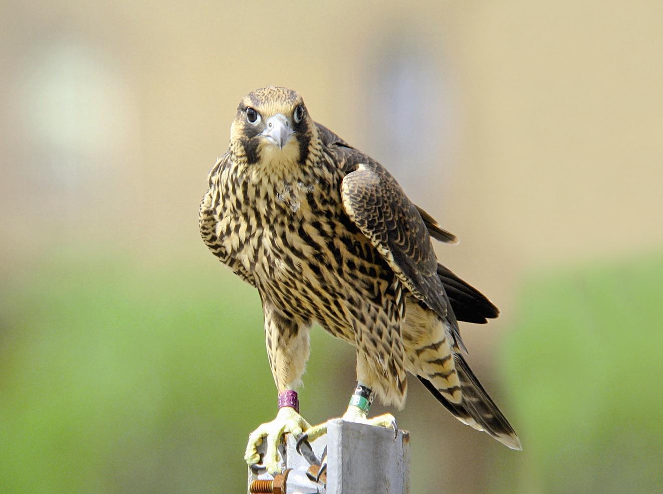 پرنده شکاری - باز