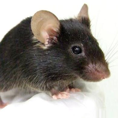 موش آوازه خوان