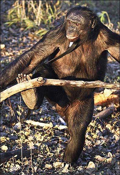 این شامپانزه آشپزی میکند