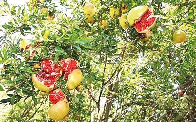 باغداران انار خون دل میخورند، واسطهها  نان مفت