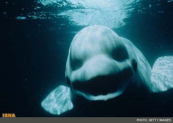 نهنگ سفیدی که صدای انسان را تقلید میکند