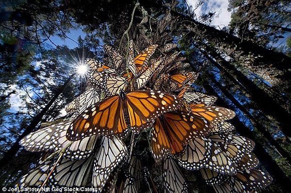وقتی پروانهها مهاجرت میکنند