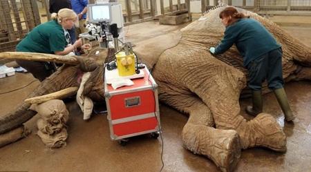 بزرگترین عمل آب مروراید جهان بر روی یک فیل