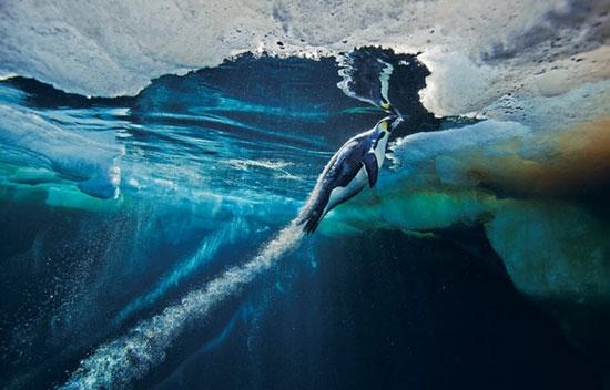 تصاویر برتر از پنگوئنها در زیر یخ