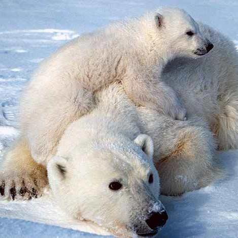 تا 25 سال آینده، خرسهای قطبی نابود میشوند