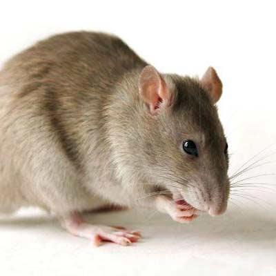 درمان آلزایمر در موشها
