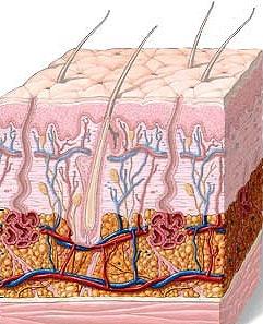 سلولهای پوستی دوباره جوان میشوند