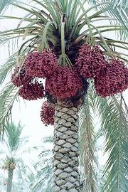 آشنایی با سوغاتیهای استان بوشهر