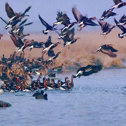حیات 67 درصد از پرندگان به تالاب ها وابسته است