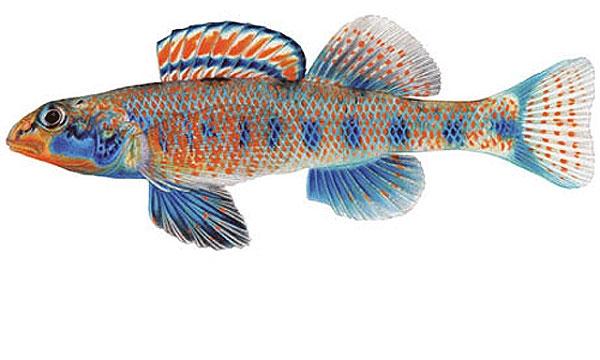 ماهی اتوستوما اوباما