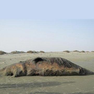 لاشه نهنگ در چابهار