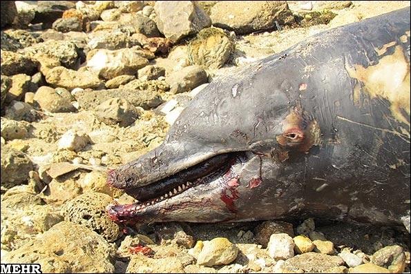 تلف شدن دلفینها به دلیل ضربات صیادان